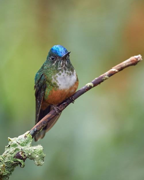 Kolibri, der auf einem kleinen ast ruht Premium Fotos