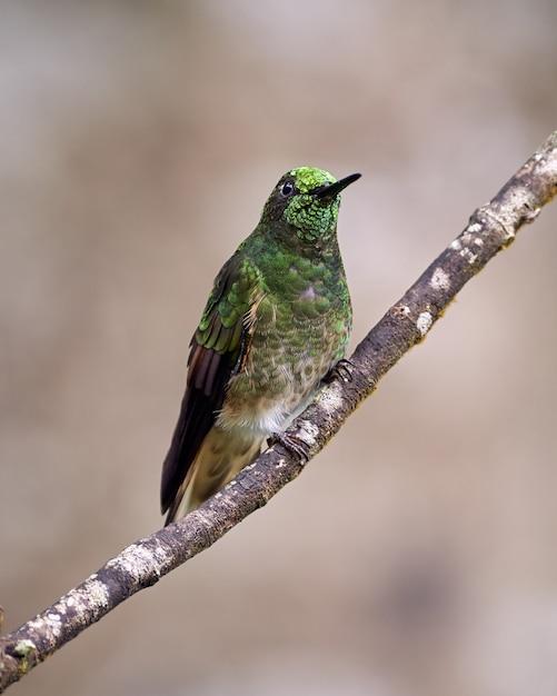 Kolibri mit hellem kopf auf einem ast Premium Fotos