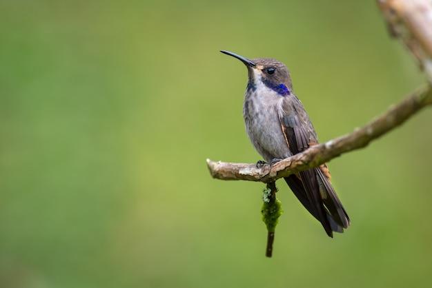Kolibri saß leise auf einem kleinen trockenen ast Premium Fotos