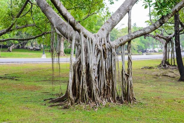 Komplexe wurzel des banyanbaums Premium Fotos