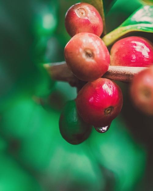 Konzentrieren sie sich auf rote kaffeebohnen auf der niederlassung in der kaffeeplantage mit tau. Premium Fotos