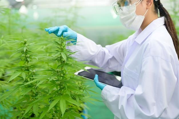 Konzept der cannabisplantage für die medizin, ein wissenschaftler, der tabletten verwendet, um daten über die indoor-farm von cannabis sativa zu sammeln Premium Fotos