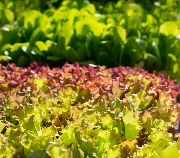 Kopfsalat gemüse sprießt texturen Premium Fotos