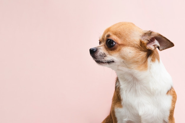 Kopieren sie raumhintergrund mit porträt eines chihuahuahundes Kostenlose Fotos