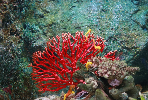 Korallen mit gelbem seahorse im aquariumbecken Premium Fotos