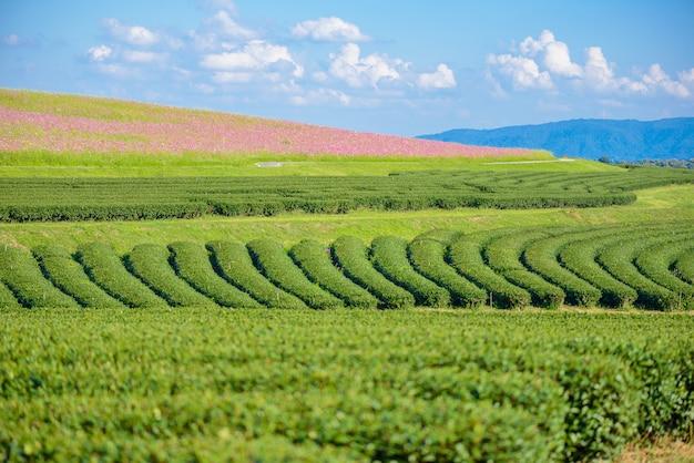 Kosmos-felder und feld des grünen tees mit blauem himmel Premium Fotos
