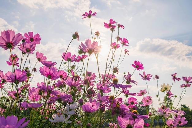 Kosmosblume und blauer himmel Premium Fotos
