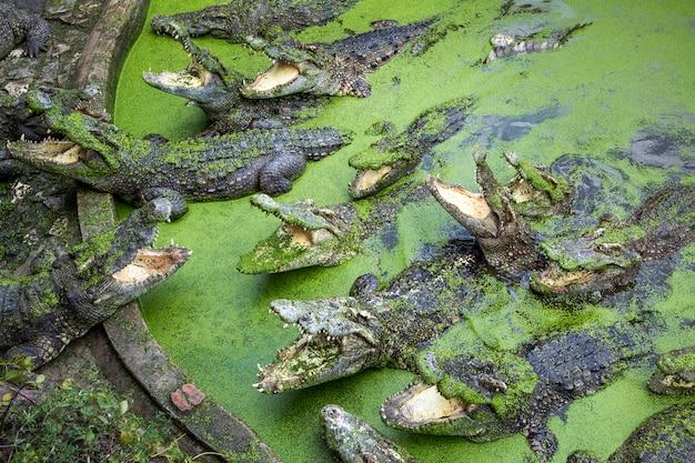 Krokodil auf dem bauernhof Premium Fotos