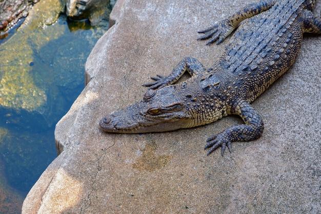 Krokodil Premium Fotos