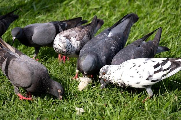 Krone von tauben- oder taubenvögeln auf grünem gras am allgemeinen park. Premium Fotos