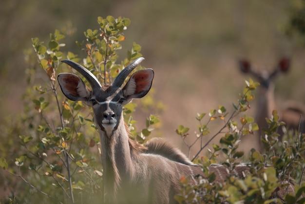 Kudu schaut zwischen den zweigen Kostenlose Fotos