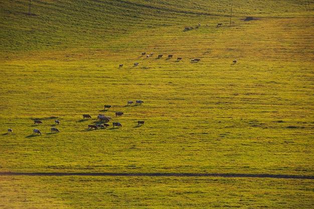 Kühe an einem sonnigen sommerabend Premium Fotos