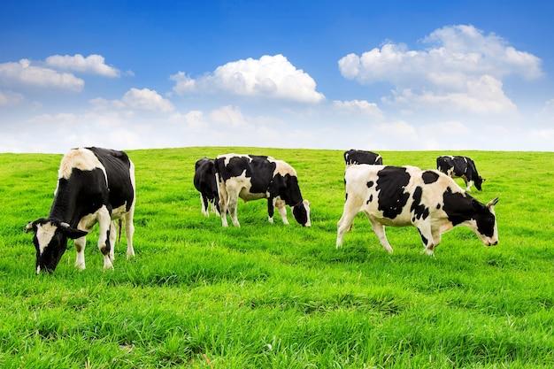 Kühe auf einem grünen feld und blauem himmel Kostenlose Fotos