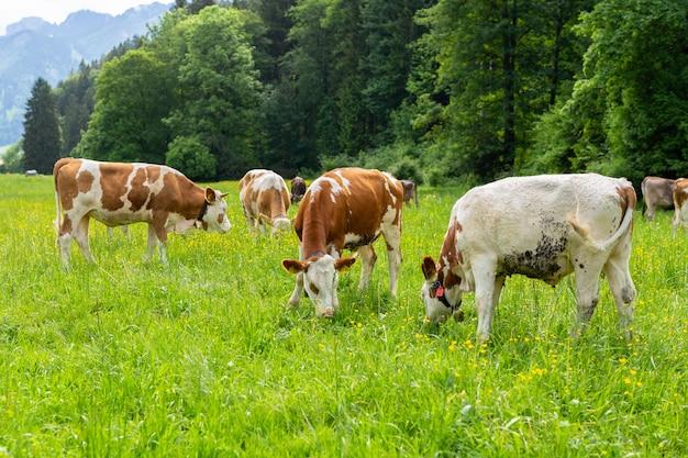 Kühe auf einer grünen wiese Premium Fotos