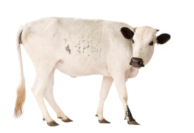 Kühe aus benin isoliert Premium Fotos