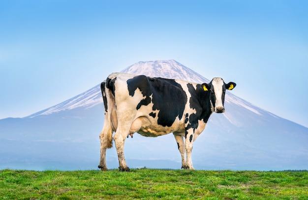 Kühe, die auf der grünen wiese vor fuji-berg, japan stehen. Kostenlose Fotos