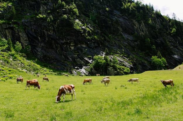 Kühe, die auf einem grünen feld weiden lassen. kühe auf den alpinen wiesen. schöne alpine landschaft Kostenlose Fotos