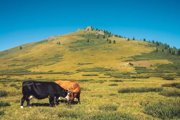 Kühe grasen im grasland im tal gegen wunderbare riesige berge an sonnigem tag Premium Fotos