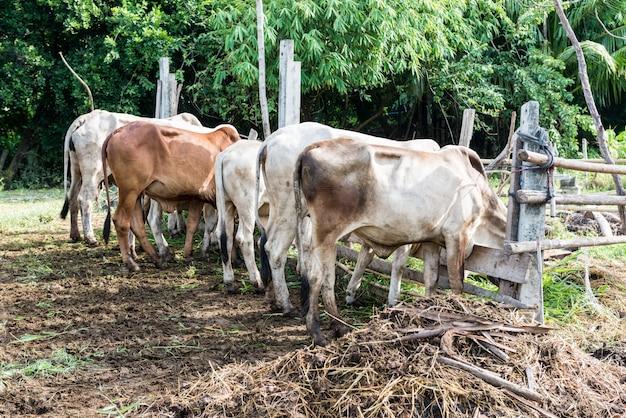 Kühe grasen Premium Fotos