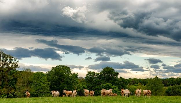 Kühe und ein bedrohlicher bewölkter himmel. bedrohliche wolken über der landschaft Premium Fotos