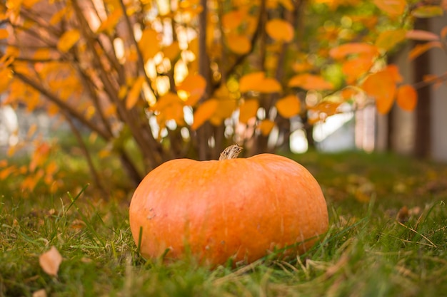 Kürbis. ernten von kürbisen im herbstgarten. Premium Fotos