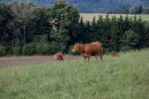 Kuh auf dem feld Premium Fotos