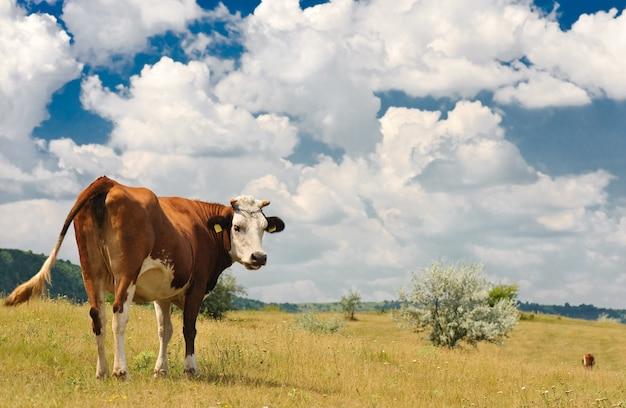 Kuh auf der wiese Premium Fotos