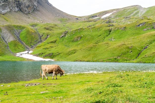 Kuh im schweizer alpenberg grindelwald zuerst Premium Fotos