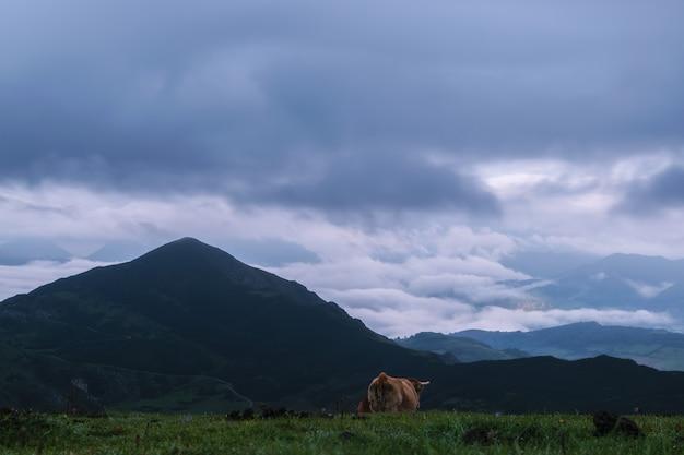 Kuh in den bergen Premium Fotos