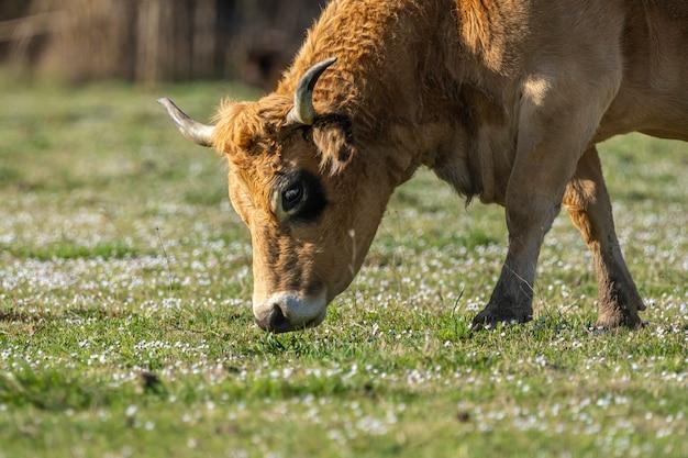 Kuh weidet in den sümpfen des ampurdan. Premium Fotos