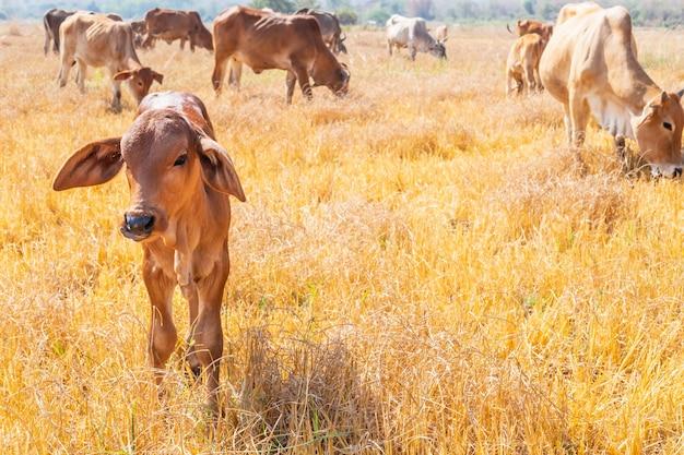 Kuhherde grasen auf grasland in hügeligen landschaften und wiesen an klaren tagen. Premium Fotos