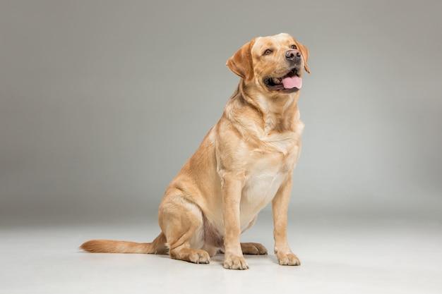 Labrador abrufen Kostenlose Fotos