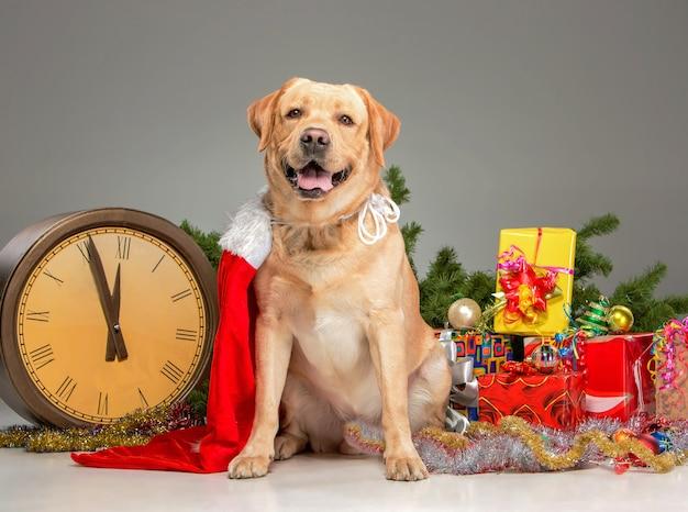 Labrador mit weihnachtsmütze und neujahrsgirlande und geschenken. Kostenlose Fotos
