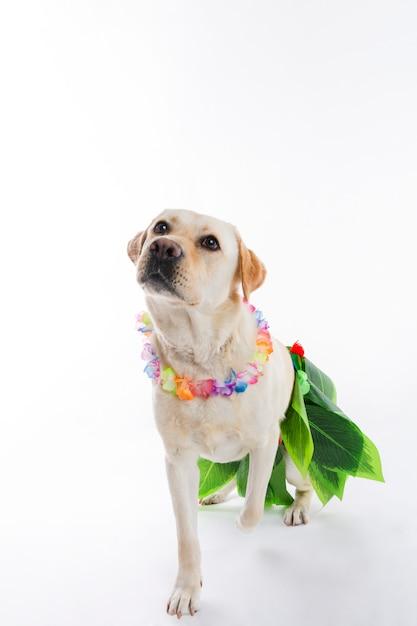 Labrador retriever Kostenlose Fotos