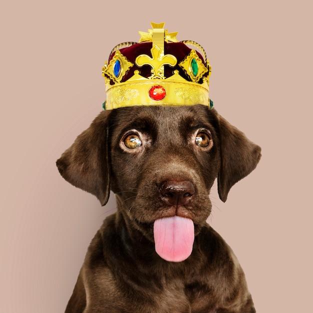Labrador-welpe mit krone Premium Fotos