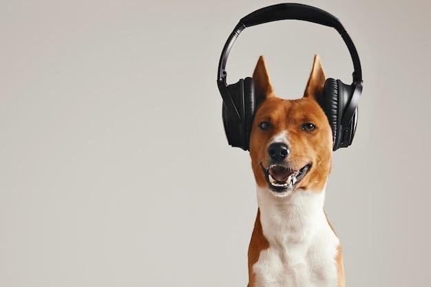 Lächelnder brauner und weißer basenji hund, der musik in großen schwarzen drahtlosen kopfhörern hört, die auf weiß isoliert werden Kostenlose Fotos