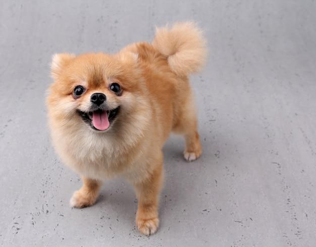 Lächelnder hund mit weißem hintergrund. Premium Fotos