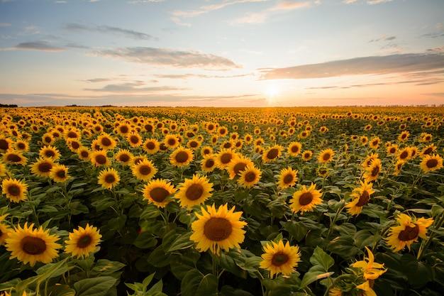 Ländliche landschaft des feldes der blühenden goldenen sonnenblumen während sonnenuntergang in ukraine Premium Fotos