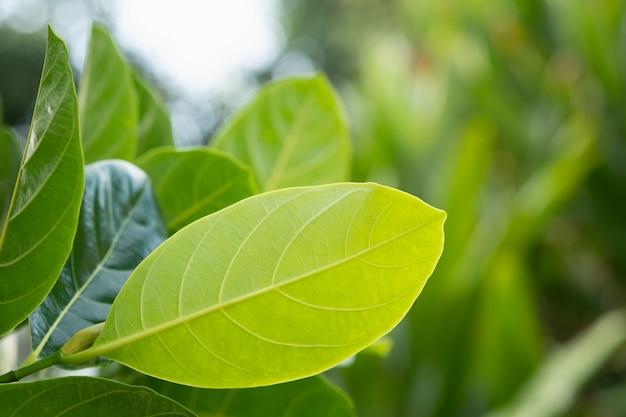 Lässt jackfrucht in brance, grünes blatt Premium Fotos