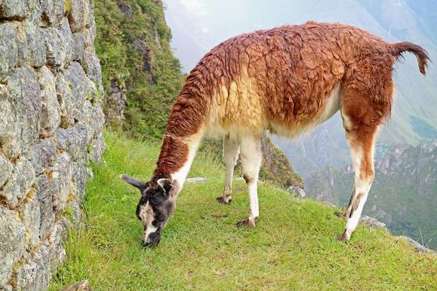 Lama, das gräser an der inkazitadelle von machu picchu, cusco, peru, südamerika isst Premium Fotos