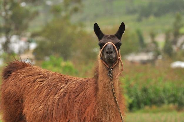 Lama in der natur Premium Fotos