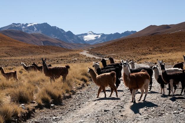 Lama in freier wildbahn im bolivianischen hochland - altiplano - vicuna alpaca lama Premium Fotos