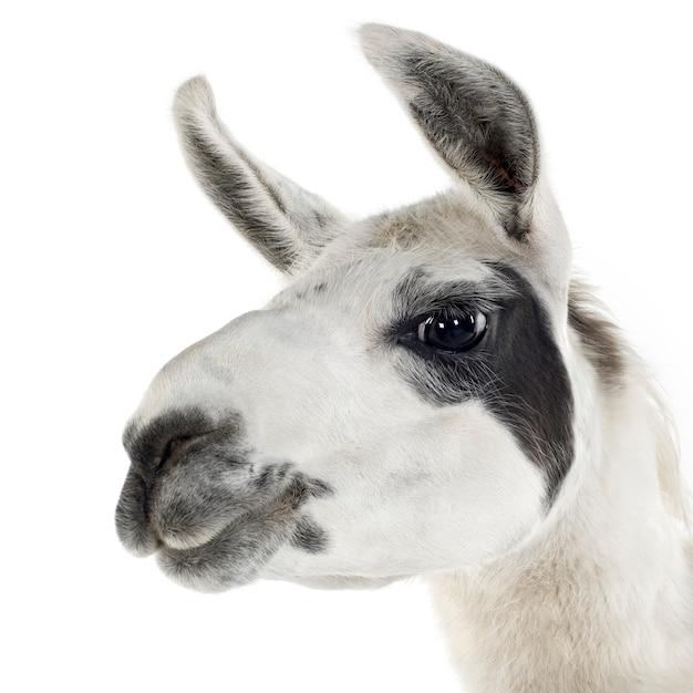 Lama - lama glama vorne auf einem weißen isoliert Premium Fotos