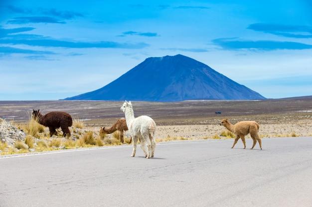 Lamas in den anden, bergen, peru Premium Fotos