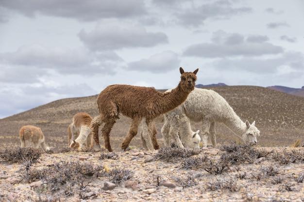 Lamas in den anden Premium Fotos