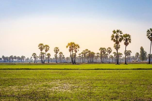 Landschaft der toddel- oder zuckerpalme mit paddyjasminreis bei phetchaburi thailand Premium Fotos