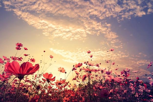 Landschaft natur hintergrund der schönen rosa und roten kosmos blume feld mit sonnenschein. vintager farbton Premium Fotos