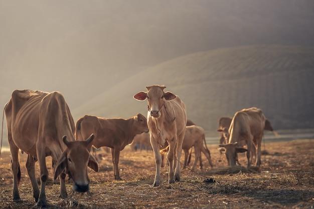 Landschaftstierkonzept, gruppe von kühen, die auf dem feldbergsonnenaufgang essen Premium Fotos