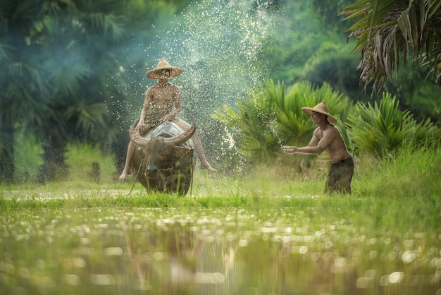 Landwirt, der den büffel pflügt reisfeld, den asiatischen mann verwendet den büffel, um für reispflanze in der regenzeit, sakonnakhon thailand zu pflügen verwendet Premium Fotos