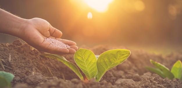 Landwirt, der der jungen tabakpflanze düngemittel gibt Premium Fotos